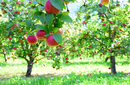 Äpfel - Apfelbäume - Apfelwiese kurz vor der Apfelernte