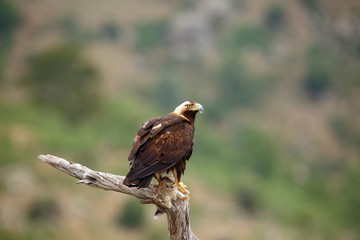The Spanish imperial eagle (Aquila adalberti), also the Iberian imperial , Spanish or Adalbert's eagle sitting on the branch with prey. Imperial eagle  with rabitt with mountains in the background. Wall mural