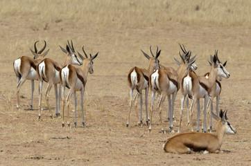 Wall Murals Antelope Springbok, Antidorcas marsupialis, Afrique du Sud