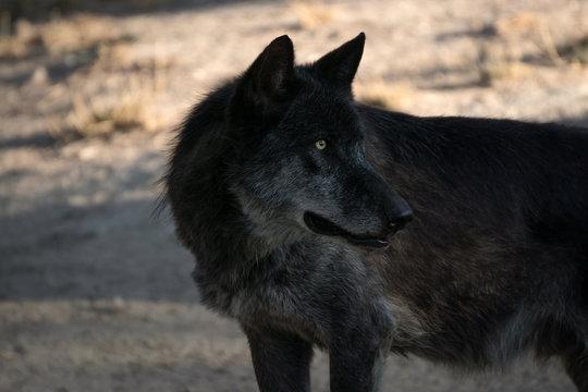 Retrato de un lobo ártico negro
