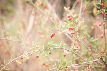 Autumn red goji fruits on a branch