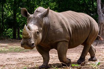 Photo sur Plexiglas Rhino Rhinoceros is a large mammals.