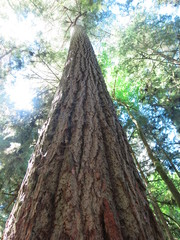 Giant Redwoods at Cathedral Grove, Vancouver Island