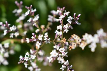 Fondo natural de pequeñas y hermosas flores blancas silvestres.