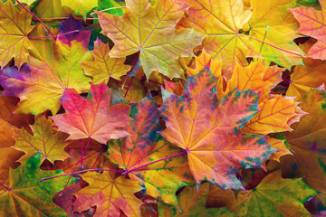 Autumn background with colorful  leaves. Fallen Maple leaves.