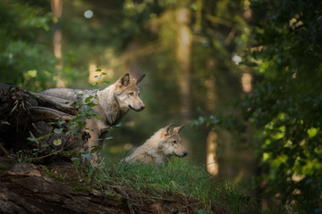 Foto auf Leinwand Wolf Wolf cubs looking for their parents during sunrise
