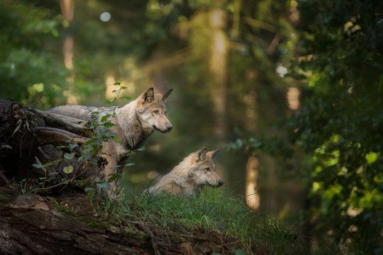 Wolf cubs looking for their parents during sunrise