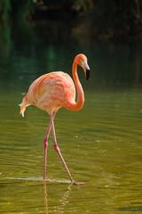 Foto op Canvas Flamingo American flamingo (Phoenicopterus ruber) bird