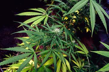 Organic Medical Marijuana.