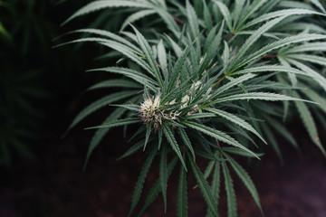 Detail Of Organic Medical Marijuana.