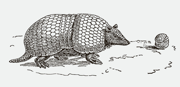 Southern three-banded armadillo tolypeutes matacus. Illustration after an engraving from the 19th century