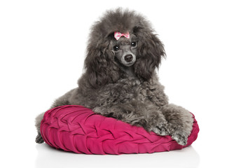 Gray Toy poodle resting on pillow