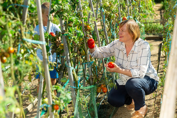 Woman with grandson harvesting tomatoes
