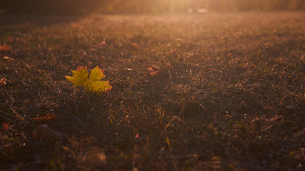 Beautiful lonely maple leaf lying on the grass on sunset or sunrise with beautiful warm back light. Leaf located in the left part of the photo. Wide format picture with copy space. Autumn background.