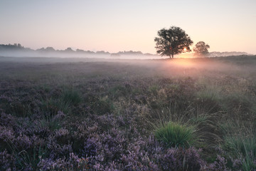 Wall Mural - beautiful misty sunrise over blossoming heather in summer