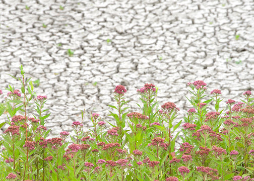 Swamp milkweed growing in drought parched marshland. Also called rose milkweed, rose milk flower, swamp silkweed, or white Indian hemp, is a herbaceous perennial plant species native to North America