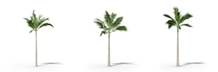 Canvas Prints Palm tree Alexander palm on a white background.Isolated trees with clipping path ,Realistic 3D rendering