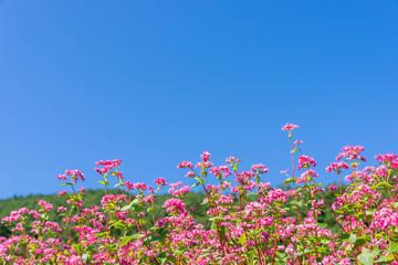 青空と赤そばの花