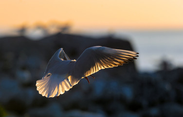 The flying seagull in backlight of the sunset. Sunset  background. The Black-headed Gull Scientific name: Larus ridibundus.