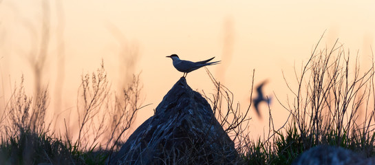The silhouette of tern on the stone against the red sunset sky. Dramatic Sunset Sky. The Common Tern Scientific name: Sterna hirundo. Sternidae