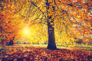 Foto op Canvas Meloen Bright tree in the sunny autumn park