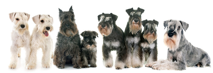 Wall Mural - group of Schnauzers
