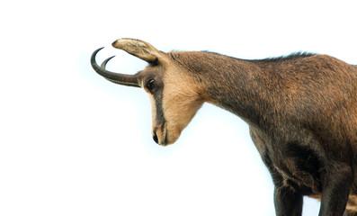 beautiful chamois goat isolated on white background