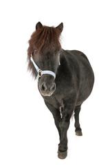 miniature horse in studio