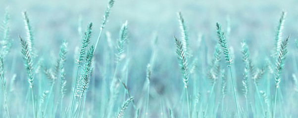 Aluminium Prints Grass Wide panoramic natural background in pastel colors. Wild grass field panorama. Nature outdoors widescreen wallpapers