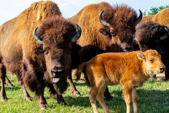 European bison herd and young calf (Bison bonasus) in the meadow.