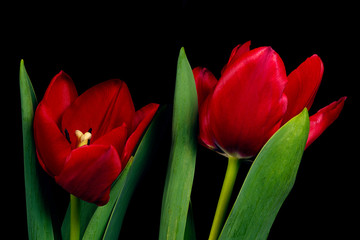 Two red tulip flowers on black background