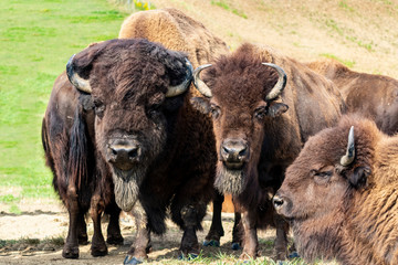Canvas Prints Bison European bison herd and young calf (Bison bonasus) in the meadow.