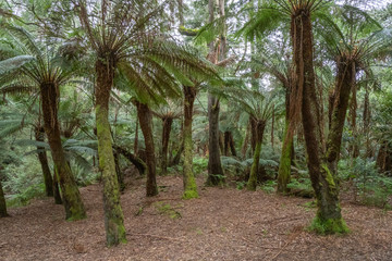 Massed Tree Ferns