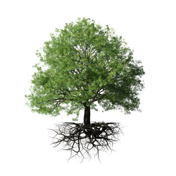 tree with roots, isolated on white background