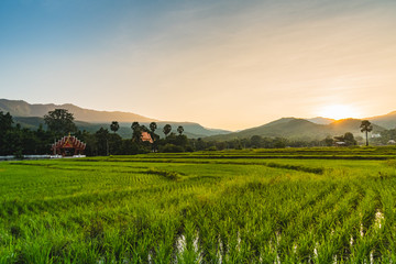 Beautiful Sunset on rice field in harvest season in Chiangmai,Thailand