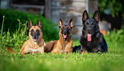 Two belgian shepherd malinois and one german shepherd on the grass