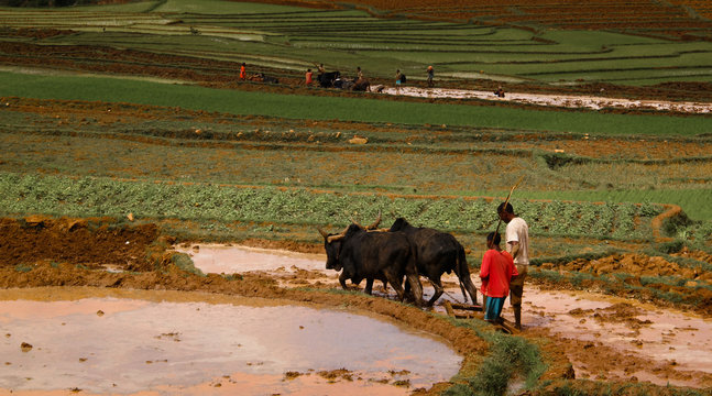 Landscape with the ploughing farmers and zebu at the rice fields and Onive river at Antanifotsy,Madagascar