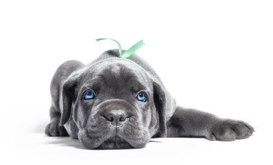 little puppy dog of breed canecorso on a white background in isolation close up