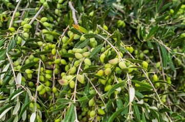 Greek olives on olive tree. Crete island, Greece