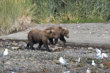 Geschwister beim Strandspaziergang - Zwei junge Grizzlybären an der Küste von Katmai, Alaska