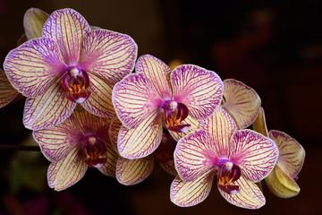 Lavender and cream Phalaenopsis Kaleidoscope Candy Stripe Moth orchid flower hybrid