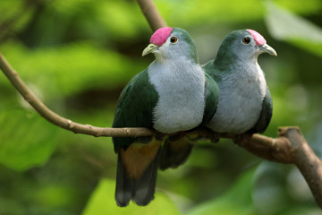 Couple of Beautiful fruit doves on tree branch Wall mural