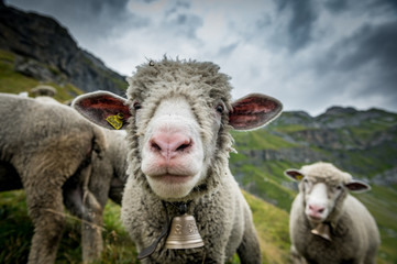 funny portrait of a sheep high above Oeschinensee near Kandersteg