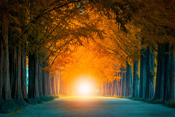 Light at the end of the tunnel of tree tunnel in autumn  and walkway in yellow tree tunnel  South Korea