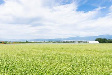山形村のそば畑