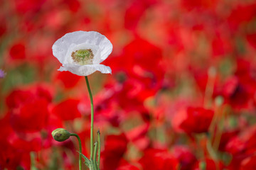opium  flower and  background of red poppies