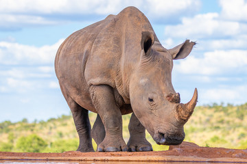 Portrait of a white rhinoceros (Ceratotherium simum) drinking water, Welgevonden Game Reserve, South Africa.