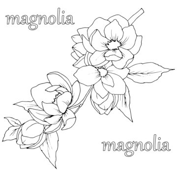 picture in black and white, a branch with flowers and leaves of Magnolia