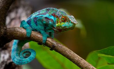 Deurstickers Kameleon Green chameleon in the jungle