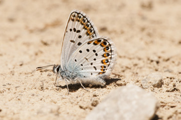 Plebejus argus Silver studded Blue small and beautiful butterfly of the family Lycaenidae feeding on salts on the wet ground